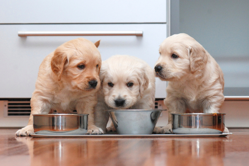 Puppy Care Tips – Bringing a Puppy Home For the First Time